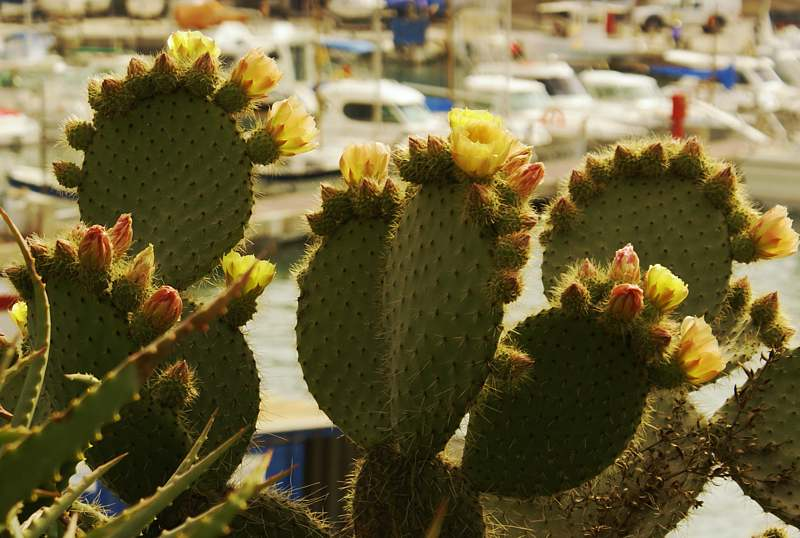 Kaktusblüte auf Mallorca